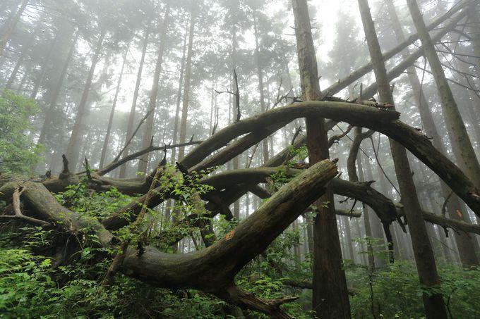 明神ヶ岳山頂までは針葉樹の尾根筋を行く!