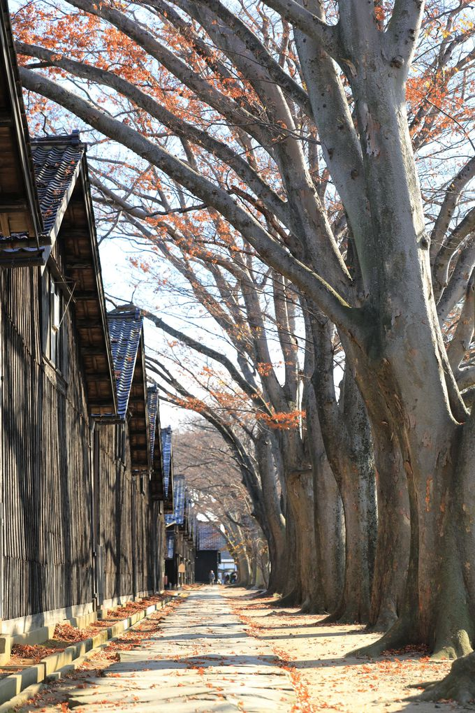 山居倉庫の欅並木は必見!ぜひ散策を