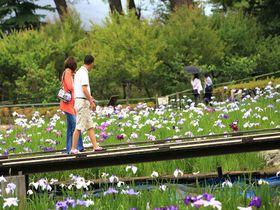 なんと8100株!小田原城「あじさい花菖蒲祭り」は花の競演