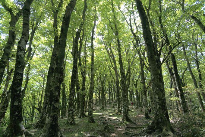 息をのむブナ原生林の大木群。しばし圧倒される美しさ!