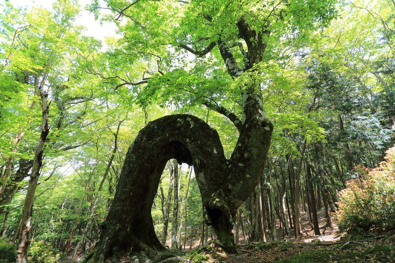 日本百名山のブナ原生林群!静岡・天城山の圧倒的な自然を歩く