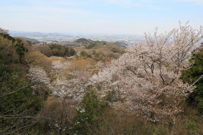 桜は桜でも、ヤマザクラが萌える!大平山の春。動画で確認!