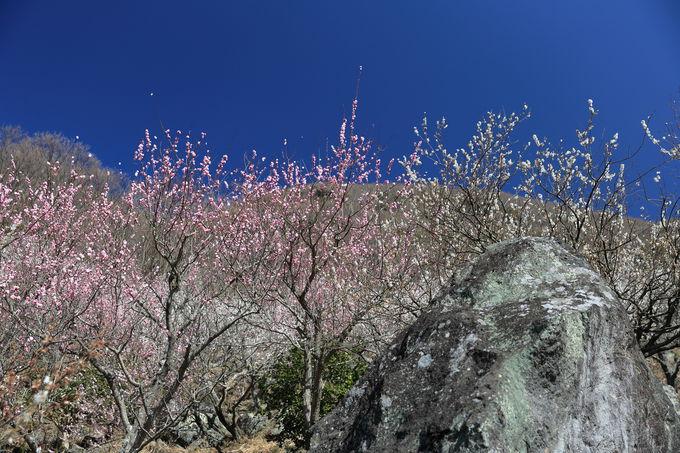 春を彩る「梅の宴」は毎年開催!
