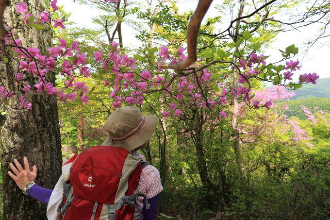 固有品種「アマギシャクナゲ」!さらにトウゴクミツバツツジやアセビなども開花