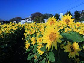 季節外れの満開にときめく!神奈川・寒川町「冬のひまわり畑」