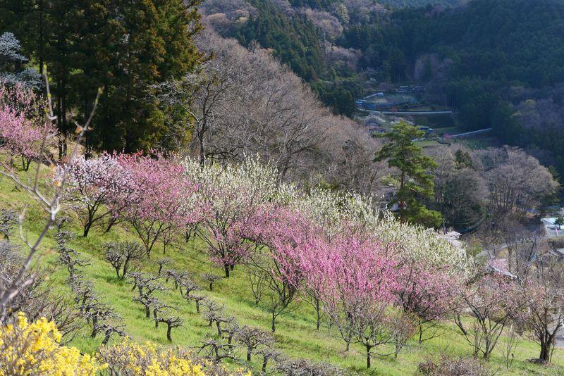 心がほっこりする秩父横瀬町の花を愛でる日向山ハイキング!