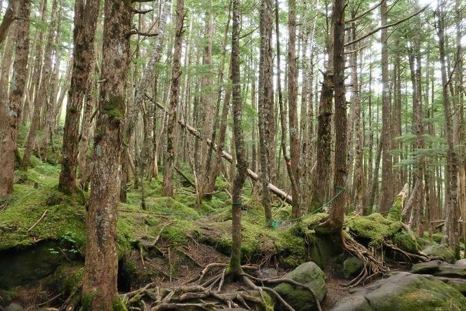 苔むしたニュウの森を抜けて山頂へ向かう