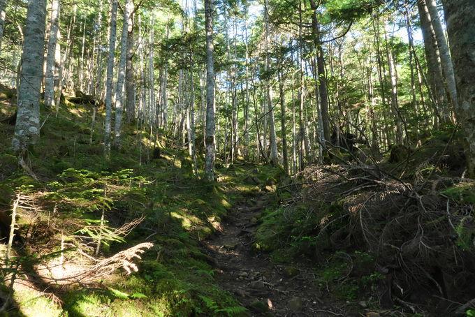 白砂新道で森林限界までの美しい樹林帯の上り