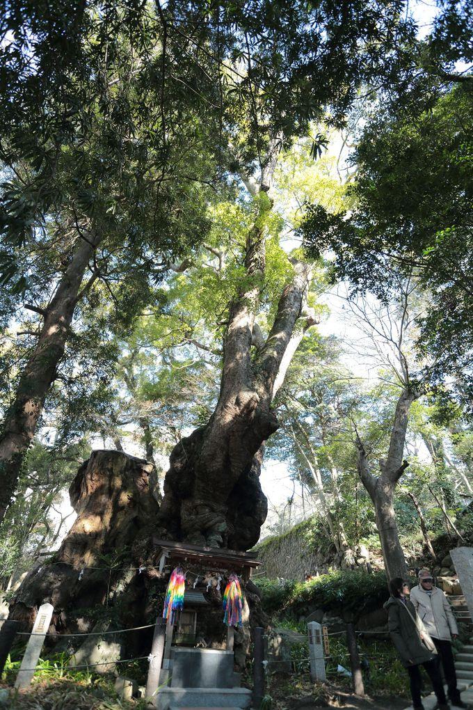 来宮神社(きのみやじんじゃ)に立ち寄り天然記念物の「大楠(おおくす)」を観る
