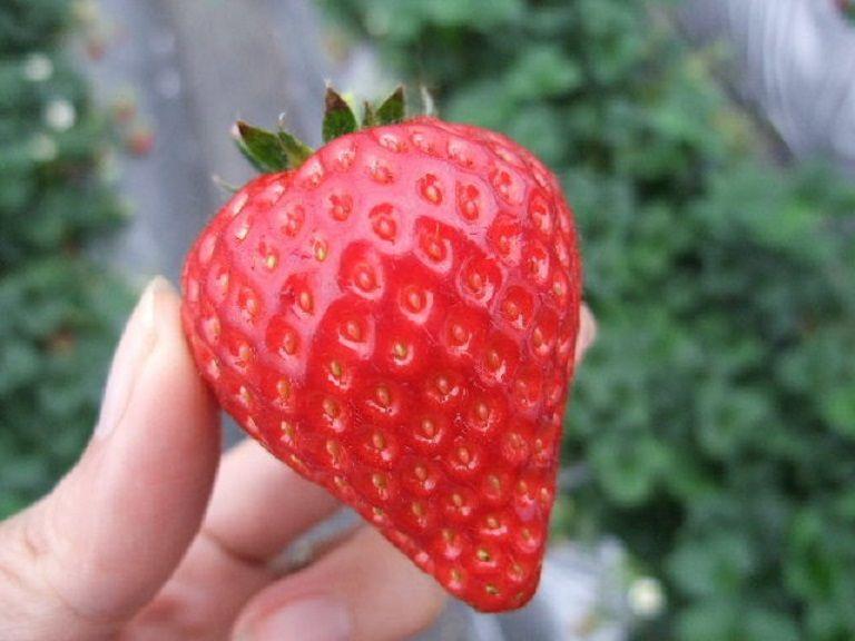 苺狩りと本格石釜ピザ作り体験!千葉県オリジナルのいちご「ふさのか」を味わおう