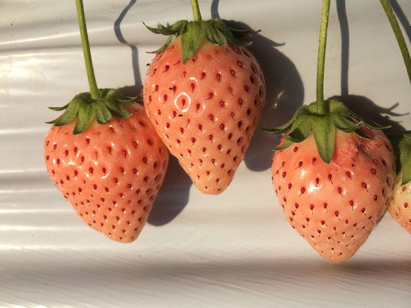 君津「大竹いちご園」へ淡雪という名の白いちご摘みに出かけよう!希少なピンクいちごも食べ放題