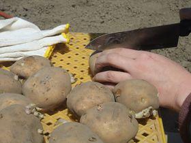 栃木「いちごの里」でじゃがいもオーナーになろう!3000円で40キロ収穫できるチャンス!