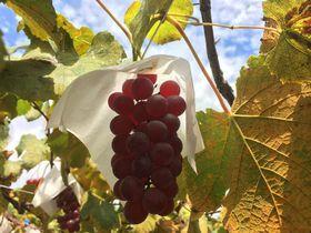 山梨・笛吹ワインでぶどう狩り!採りたてぶどうでワイン造りとラベル作り体験も!