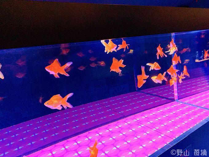 レトロかわいい金魚展示空間「東京レトロ金魚」