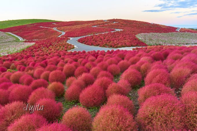 コキアの紅葉は永遠に眺めていたい光景!