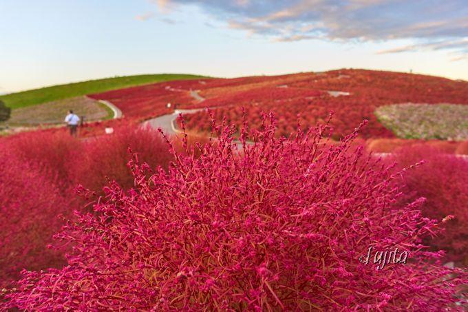 コキアの紅葉は丘に登って、至近距離から楽しもう!