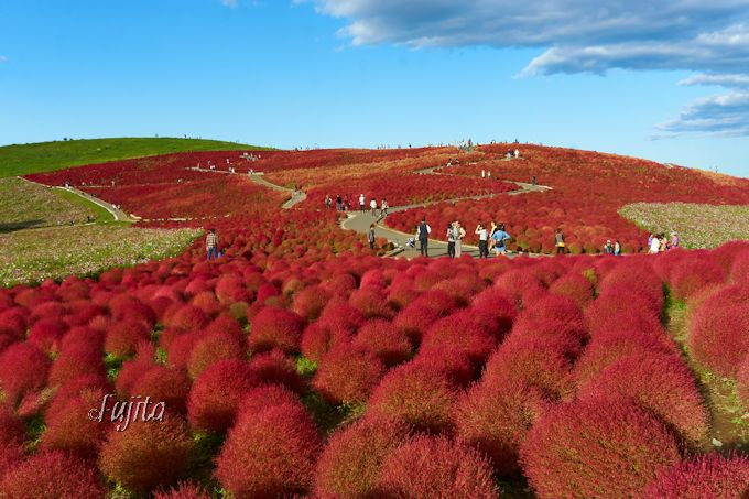 コキアの紅葉10月が見頃!茨城・国営ひたち海浜公園のコキアは必見