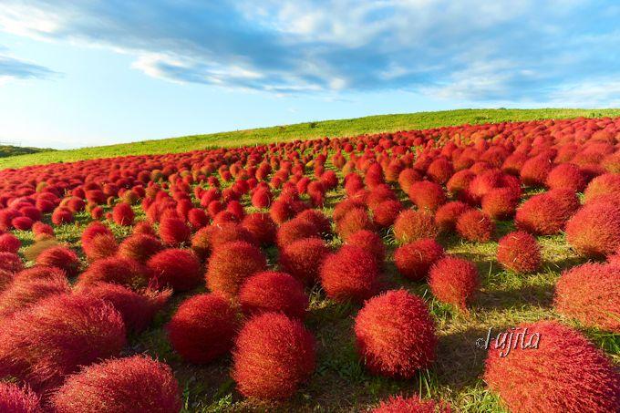 コキアの紅葉は夕日に光輝く!