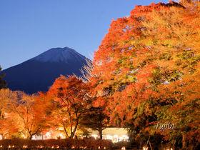 河口湖もみじ回廊の紅葉が富士山とコラボ!ライトアップも必見