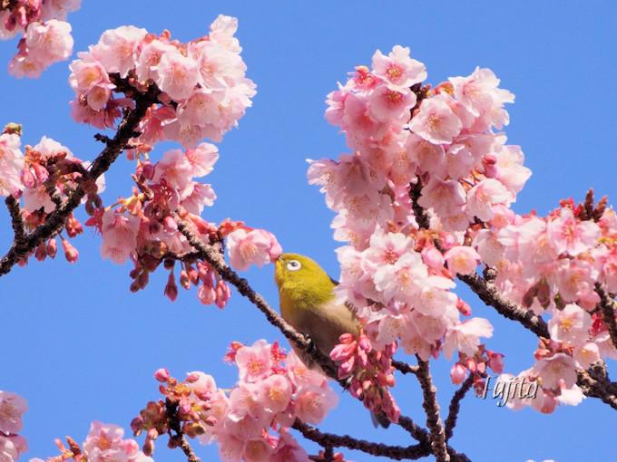 あたみ桜とメジロがコラボ!