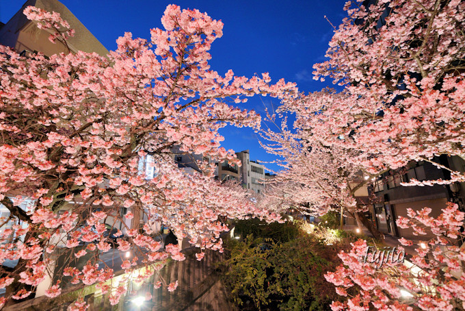 夜桜のライトアップは延長される場合も!