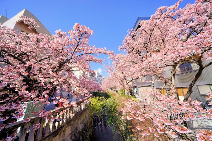 熱海の桜は超早咲き!糸川桜まつり