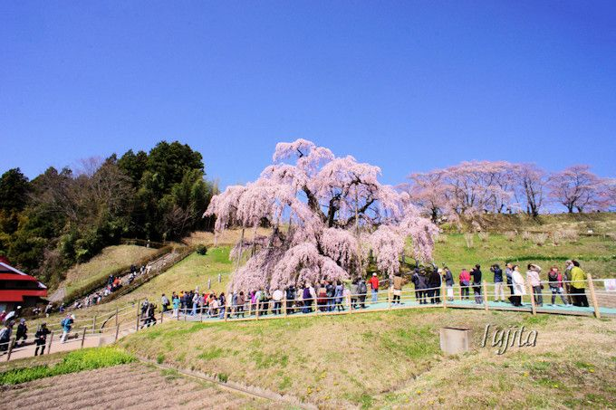 三春滝桜は早朝から見物可能!
