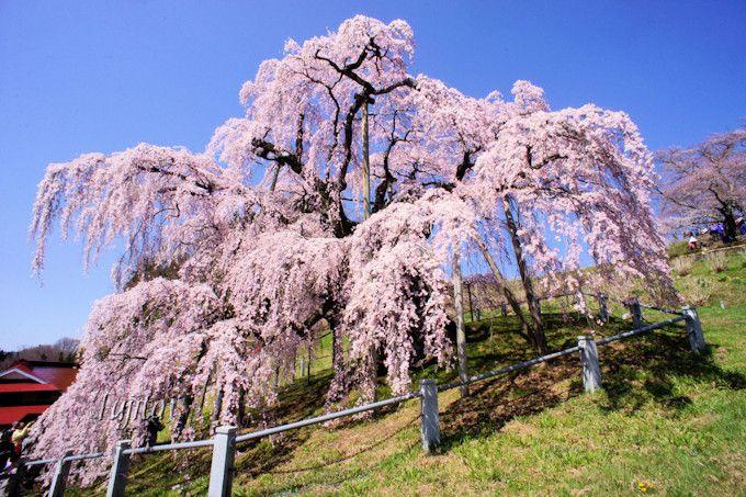 快晴の青空と桜のコラボが美しい!