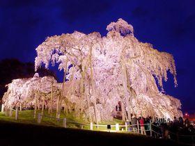 三春滝桜はライトアップも必見!福島の人気一本桜お花見攻略法