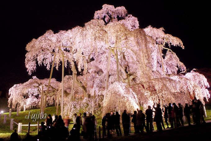 夜桜ライトアップは絶好のパワースポット!