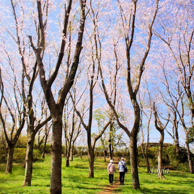 桜の細道の先では富士山を展望!