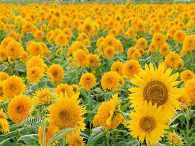 茨城「明野ひまわりフェスティバル」は八重ひまわり100万本の名所!
