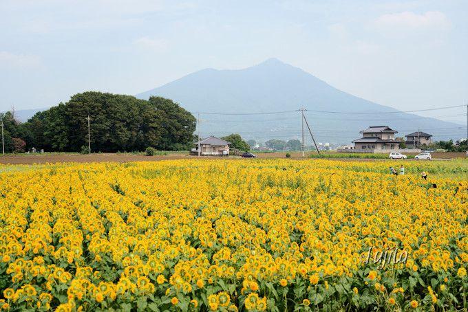 雄大な筑波山が背景!明野ひまわり