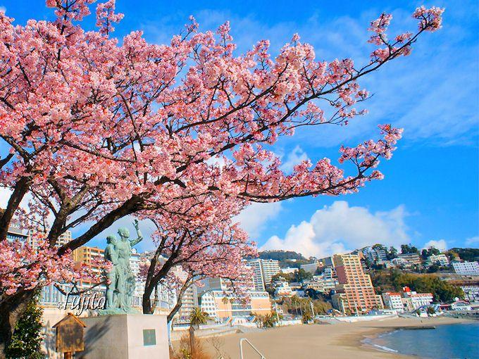 日本一早い?「あたみ桜」は梅より早く最盛期を迎えます!