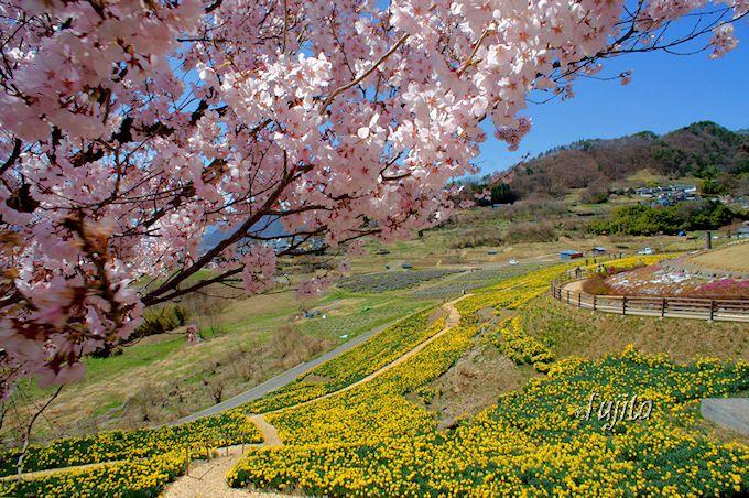 桜と水仙の絶景!信州国際音楽村公園「すいせん祭り」(長野県上田市)