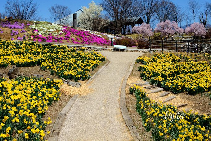 桜と水仙のコラボに、芝桜やコブシも彩りを添える
