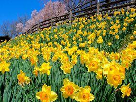 桜と水仙の絶景!上田市・信州国際音楽村公園「すいせん祭り」