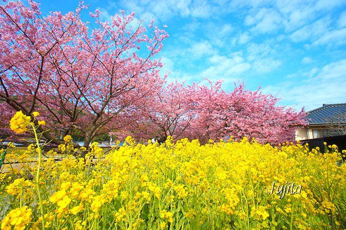 桜と菜の花がコラボする穴場も!絶景ポイント3