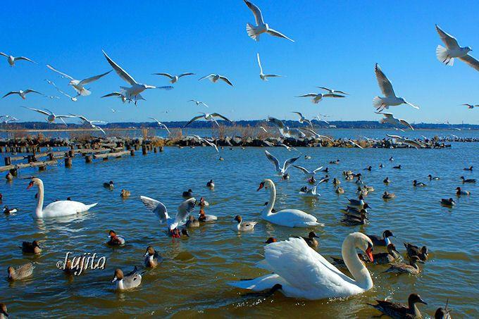 潮来・北浦「白鳥の里」は東京からも近い白鳥飛来地