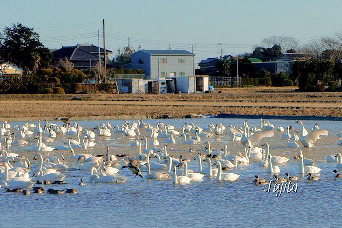 昼間の白鳥の湖