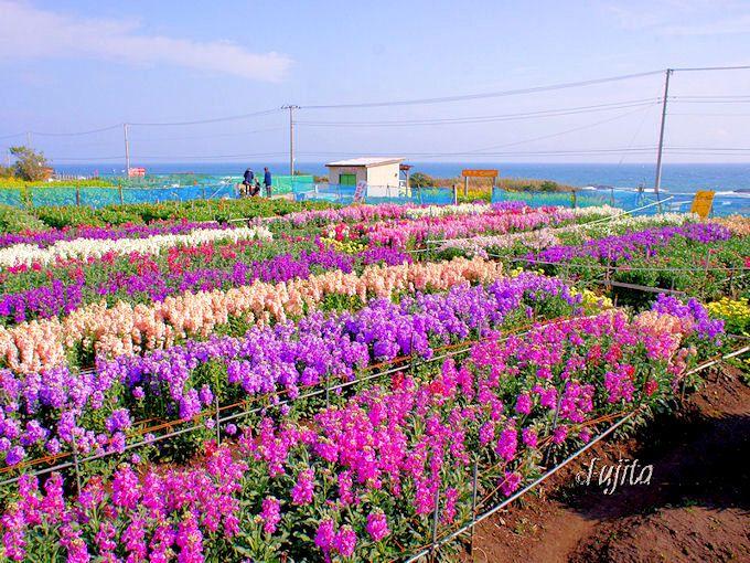 白間津のお花畑は海を望む絶景!
