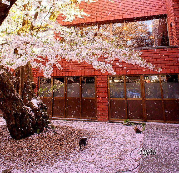 弘前さくらまつり穴場の絶景「桜吹雪」
