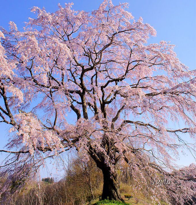 福島県・あぶくま桜回廊の一本桜5選!三春滝桜の子孫桜も絶景