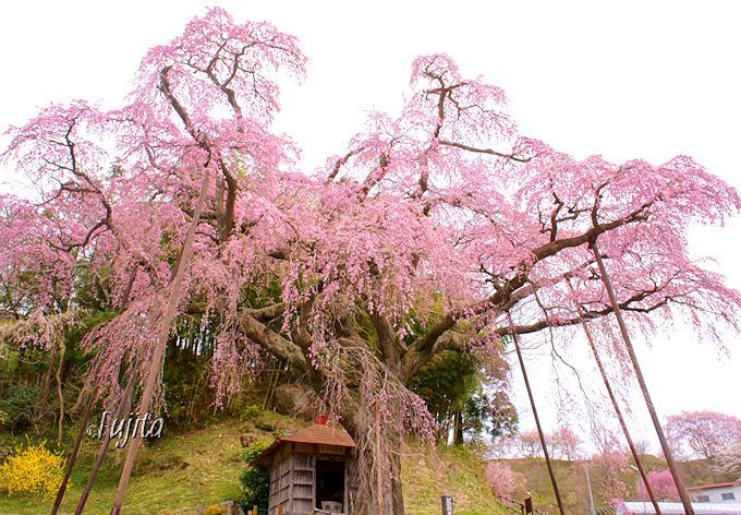 三春滝桜に次ぐ人気!紅枝垂地蔵桜(郡山市)