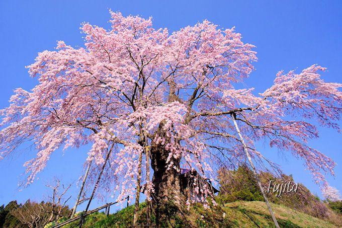 青空に映える絶景!不動桜(郡山市)