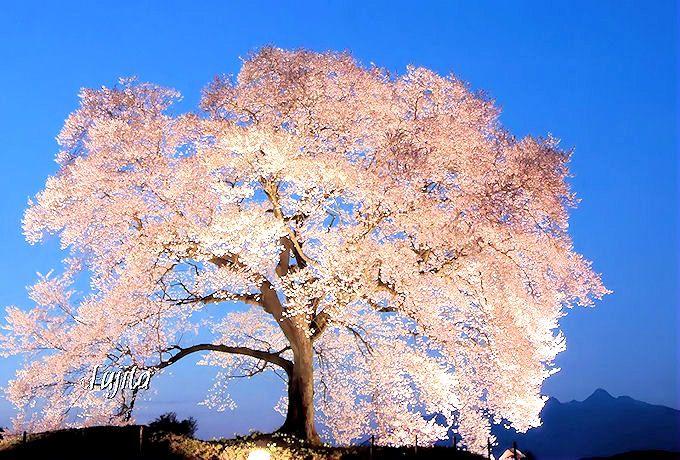 あのTVドラマでもお馴染み!日本屈指の一本桜「わに塚のしだれ桜」(山梨・韮崎)
