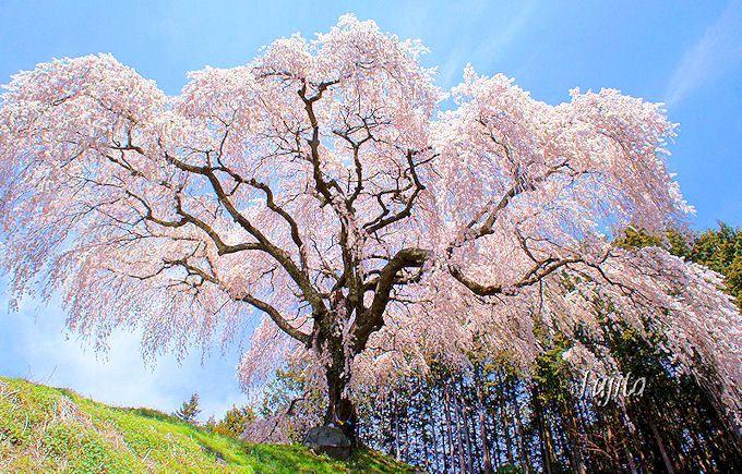 是非覚えておきたい「乙ヶ妻(おっかづま)」のしだれ桜(山梨市)