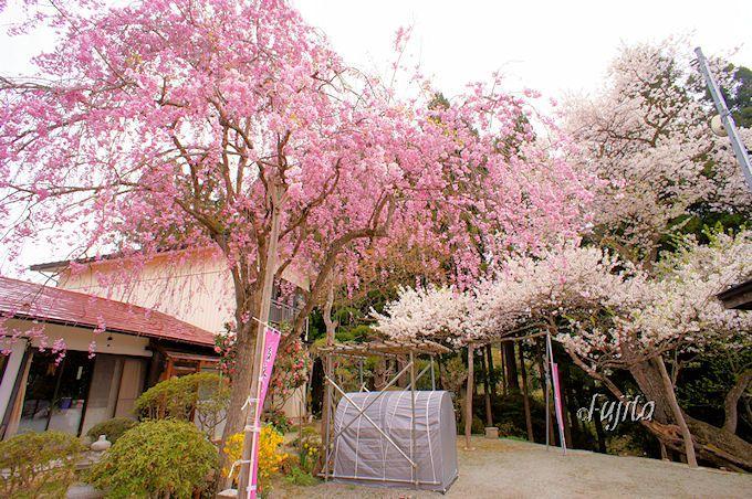 新人にして古典桜!後庵桜(置賜さくら回廊、白鷹町)