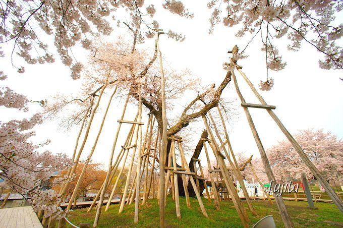 日本三位の長寿桜!伊佐沢の久保桜(置賜さくら回廊、長井市)