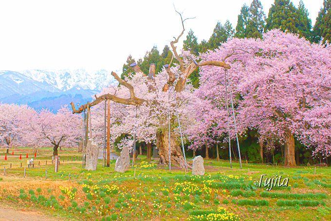 長寿桜ベスト30が集結!山形・置賜さくら回廊の一本桜5選
